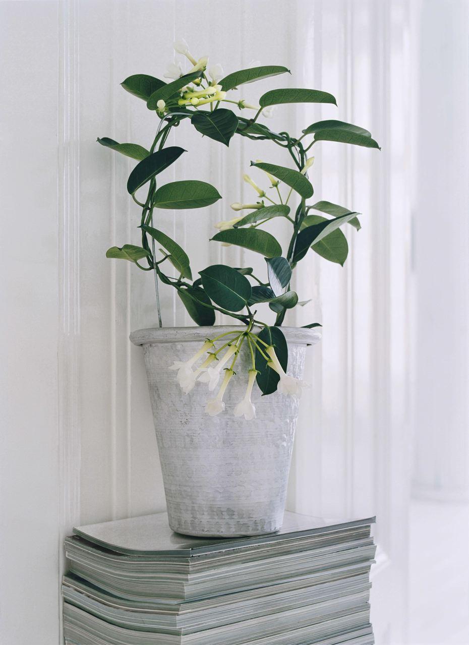 Comment planter un jasmin
